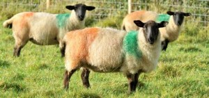 Pecore tricolori | Tricolour sheep